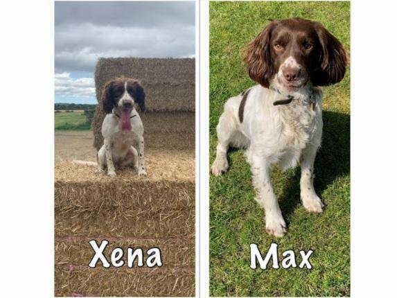 PDs Xena and Max, two-year-old English Springer Spaniels, have joined the Beds, Cambs and Herts dog unit